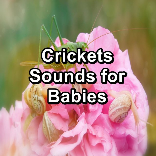 Crickets Sounds for Babies