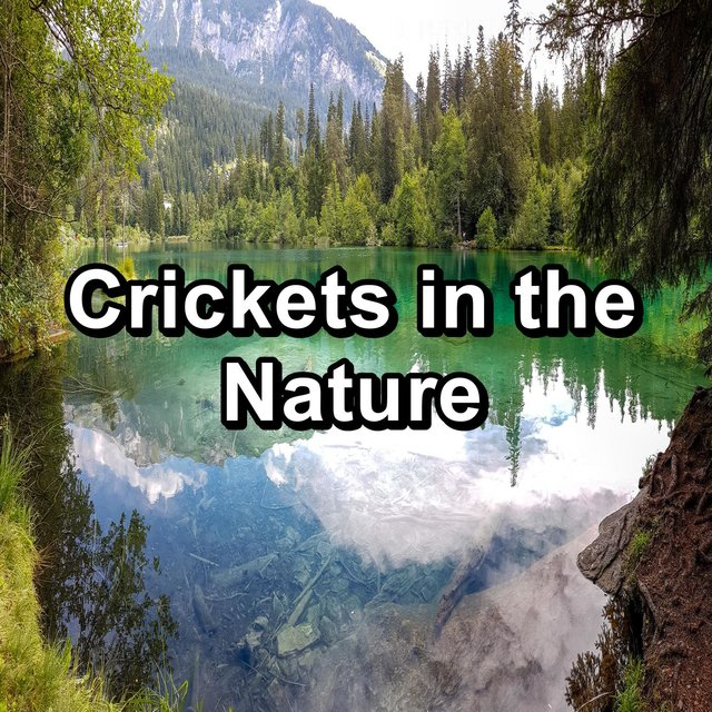 Crickets in the Nature