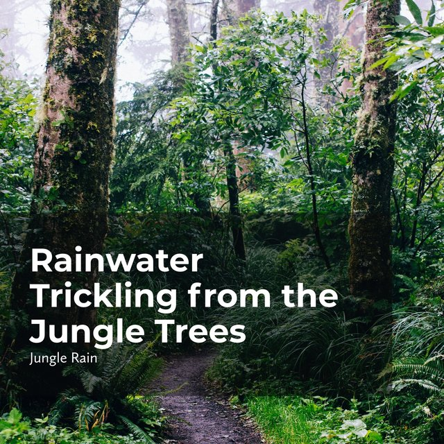 Rainwater Trickling from the Jungle Trees
