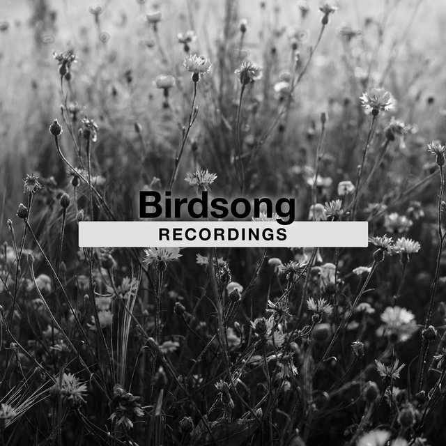 Mellow Sleepy Birdsong Recordings