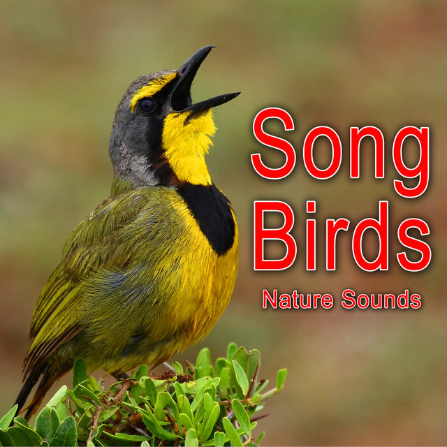 Song Birds (Nature Sounds)