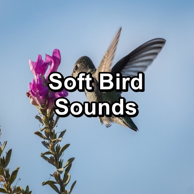 Soft Bird Sounds