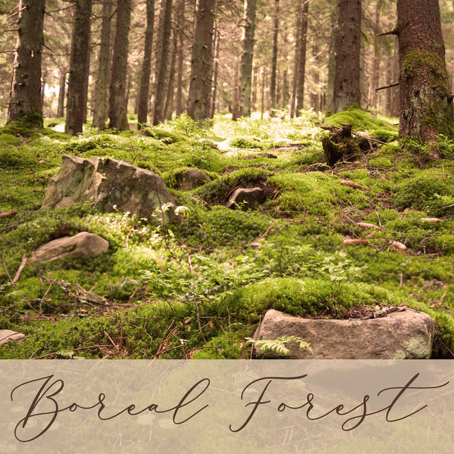 Boreal Forest: Ambience Music, Nature Sounds, Relaxing Piano Music, Music for Studying, Sleeping Sounds