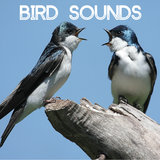 Bird Sounds - Gentle Birds and Forest Stream for Relaxation Meditation. Relaxing Nature's Sounds for Sound Therapy calming Birds and Sounds of Nature for Mindfulness Méditation and Relaxation